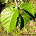 Leaves (Turkish Hazel)