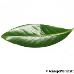 Leaf upperside (Cherry Laurel)