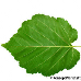 Leaf underside (Turkish Hazel)