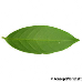 Leaf underside (Cherry Laurel)