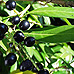 Fruits (Cherry Laurel)