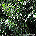Appearance (Cherry Laurel)