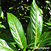 Leaves (Cherry Laurel)