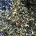 Common Holly, English Holly