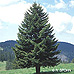 Appearance (Christmas Tree, Norway Spruce)