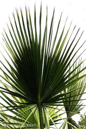 Both Encyclopaedia Chusan Palm Windmill Palm