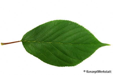 Leaf upperside