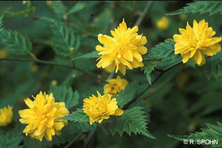 Stihl Baumlexikon Japanese Yellow Rose Japanese Kerria